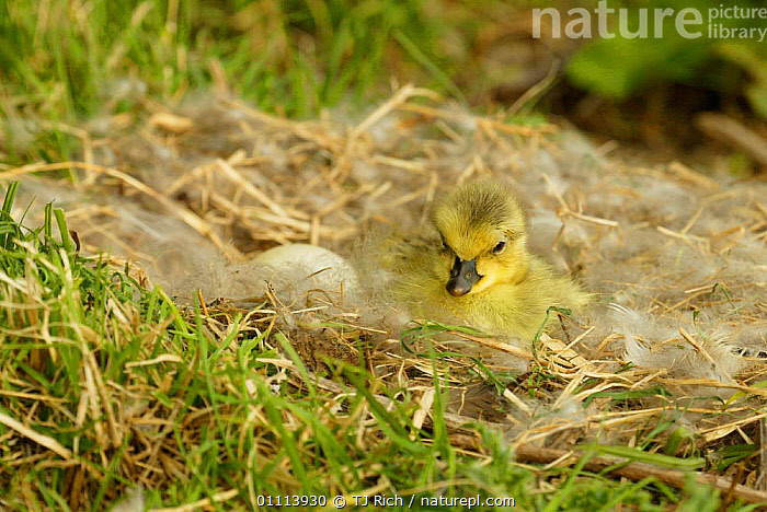 Day-old Canada gosling chick + egg in nest {Branta canadensis UK  ,  BABIES,BIRDS,CHICKS,CUTE,EGG,ENGLAND,EUROPE,FLUFFY,GEESE,NESTS,UK,WATERFOWL,UNITED KINGDOM,BRITISH,WILDFOWL,North America, waterfowl  ,  TJ Rich