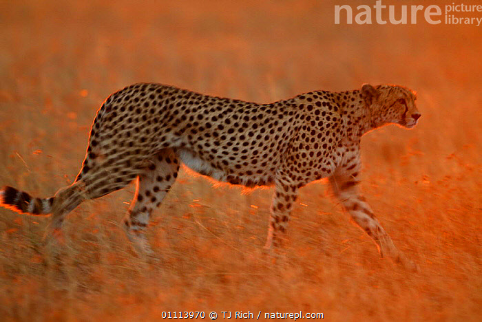Cheetah walking at dawn {Acinonyx jubatus} Masai Mara, Kenya  ,  AFRICA,CARNIVORES,DAWN,EAST AFRICA,GRASSLAND,HORIZONTAL,KENYA,MAMMALS,RESERVE,SAVANNA,SILHOUETTES,SUNRISE,WALKING  ,  TJ Rich
