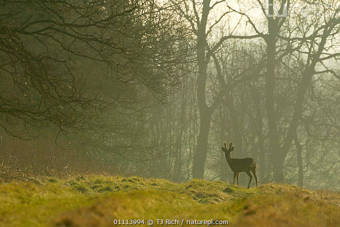 Roe deer buck in morning mist on edge of woodland {Capreolus capreolus} Hampshire, UK  ,  ARTIODACTYLA,BRITISH,DCA,DEER,ENGLAND,EUROPE,HORIZONTAL,MALES,MAMMALS,MORNING,WILDLIFE,WOODLANDS  ,  TJ Rich