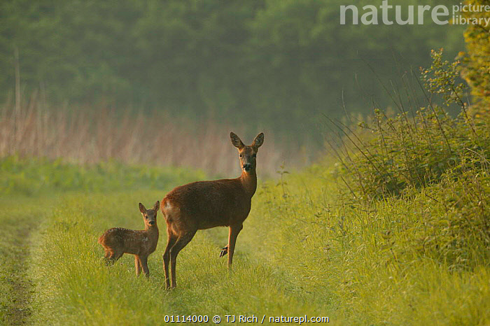 Roe deer mother + fawn {Capreolus capreolus} Hampshire, UK, ARTIODACTYLA,BABIES,BRITISH,DEER,ENGLAND,EUROPE,FAMILIES,HORIZONTAL,MAMMALS,UK,WILDLIFE,UNITED KINGDOM,GettyBOV, TJ Rich