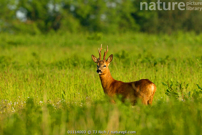 Roe buck in  field {Capreolus capreolus} Hampshire, UK  ,  ARTIODACTYLA,BRITISH,DEER,DIGITAL,ENGLAND,EUROPE,FARMLAND,HORIZONTAL,MALES,MAMMALS,UK,WILDLIFE,UNITED KINGDOM,GettyBOV  ,  TJ Rich