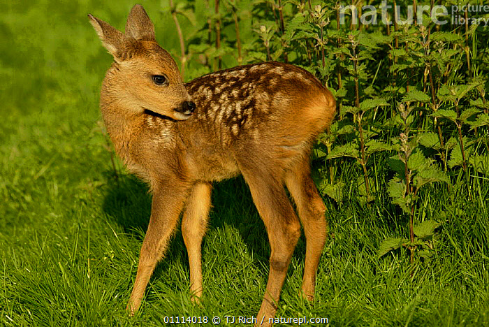 Roe deer fawn grooming {Capreolus capreolus}  Scotland, UK  ,  ARTIODACTYLA,BABIES,BRITISH,CUTE,DEER,EUROPE,HORIZONTAL,MAMMALS,SCOTLAND,UK,WILDLIFE,UNITED KINGDOM  ,  TJ Rich