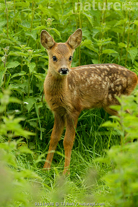 Roe deer fawn, 3-weeks-old {Capreolus capreolus} Scotland, UK  ,  ARTIODACTYLA,BABIES,BRITISH,DEER,EUROPE,MAMMALS,PORTRAITS,SCOTLAND,UK,VERTICAL,WILDLIFE,UNITED KINGDOM  ,  TJ Rich