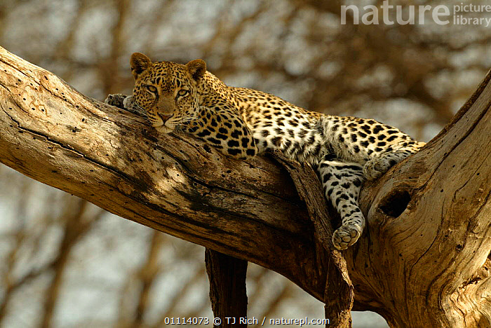 Leopard in tree {Panthera pardus} Samburu, Kenya  ,  AFRICA,CARNIVORES,EAST AFRICA,HORIZONTAL,KENYA,LEOPARDS,MAMMALS,RESERVE,SAMBURU,BIG CATS  ,  TJ Rich