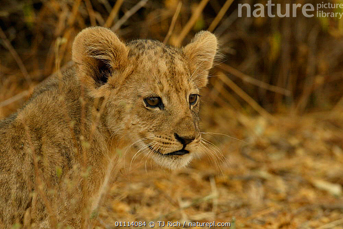 Lion cub {Panthera leo} Masai Mara, Kenya  ,  AFRICA,BABIES,CAMOUFLAGE,CARNIVORES,CUTE,EAST AFRICA,LIONS,MAMMALS,BIG CATS  ,  TJ Rich