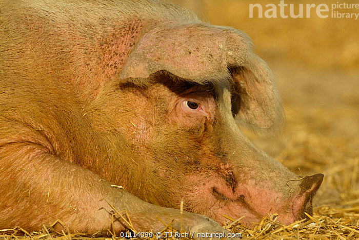 Large white organic free-range sow resting, Wiltshire, UK  ,  ENGLAND,EUROPE,FARM,FEMALES,FREE RANGE,HORIZONTAL,LIVESTOCK,MAMMALS,ORGANIC,PORTRAITS,UK,UNITED KINGDOM,BRITISH  ,  TJ Rich