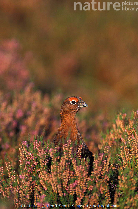 Red grouse head appearing over heather {Lagopus lagopus scoticus} Peak District NP, UK  ,  ABSTRACTS,ENGLAND,BRITISH,DERBYSHIRE,HEADS,EUROPE,MOORLAND,RESERVE,ARTY SHOTS,BIRDS  ,  Geoff Scott-Simpson