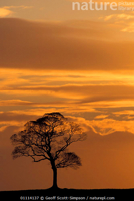 Sycamore tree silhouetted against sunset. Peak district NP, Derbyshire, UK  ,  SILHOUETTES,ENGLAND,WINTER,SKY,EUROPE,SKIES,TREES,Plants  ,  Geoff Scott-Simpson