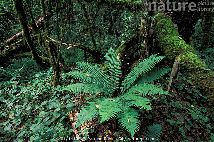 Fern in woodland, Baihe nature reserve, Sichuan, China, 2002  ,  WOODLANDS,FERNS,LANDSCAPES,ASIA,PLANTS,CHINA  ,  Patricio Robles Gil