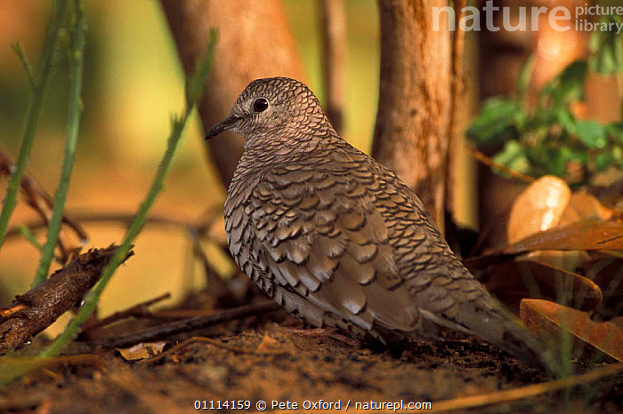 Scaled dove {Columbina squammata}. Cerrado, Brazil.  ,  ANIMAL,ARGENTINA,AVES,BIRDS,BOLIVIA,BRAZIL,BRAZILEAN,COLUMBIA,DOVES,FLOOR,ONE,PROFILE,SINGLE,SOUTH AMERICA,VENEZUELA,BIRD,ANIMALS  ,  Pete Oxford