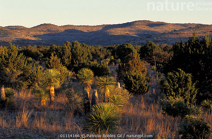 Northern Mexico landscape with prairies and woodlands.  ,  GRASSLAND,LANDSCAPES,WOODLANDS,CENTRAL-AMERICA  ,  Patricio Robles Gil