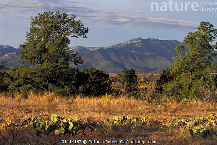 Northern Mexico landscape with prairies and woodlands.  ,  CACTI,PRAIRIE,WOODLANDS,GRASSLAND,LANDSCAPES,Plants,CENTRAL-AMERICA  ,  Patricio Robles Gil
