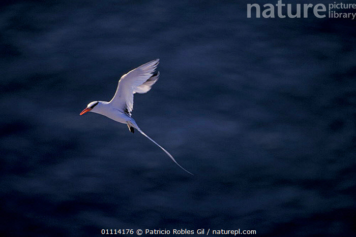 Red billed tropic bird flying {Phaethon aethereus} Gulf of California, Mexico  ,  TAILS,CENTRAL AMERICA,BIRDS,TROPICBIRDS,FEATHERS,SEABIRDS  ,  Patricio Robles Gil