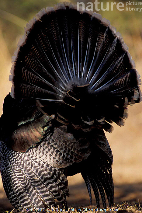 Rear view of Wild turkey display {Meleagris gallopavo} Coahuila, Mexico  ,  BEHAVIOUR,FEATHERS,MALES,TAILS,BIRDS,CENTRAL AMERICA,TURKEYS,MIDDLE-EAST  ,  Patricio Robles Gil