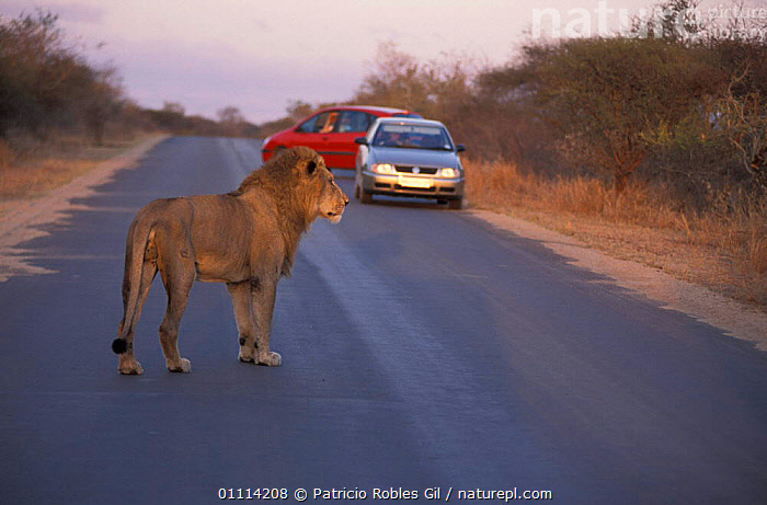 Lion crossing road woith car {Panthera leo} South Africa  ,  CARNIVORES,MAMMALS,CARNIVORE,MAMMAL,RESERVE,ROADS,SOUTHERN AFRICA,VEHICLES,Lions,Big Cats  ,  Patricio Robles Gil