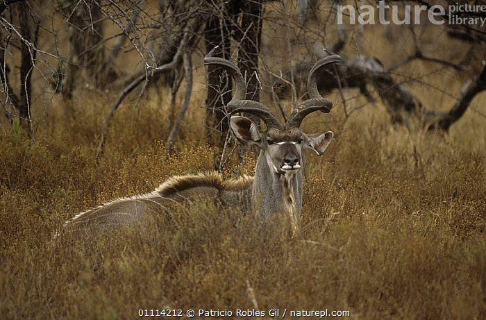 Greater kudu {Tragelaphus strepsiceros} male camouflaged in long grass, Namibia  ,  ANTELOPES,ARTIODACTYLA,BOVIDS,CAMOUFLAGE,MAMMALS,SOUTHERN AFRICA,spirals,VERTEBRATES  ,  Patricio Robles Gil
