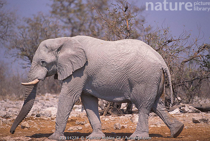 African elephant walking {Loxodonta africana} South Afric  ,  PROFILE,SIZE,SOUTHERN AFRICA,MAMMALS,DESERTS,ELEPHANTS,PROBOSCIDS,AFRICA,LARGE  ,  Patricio Robles Gil