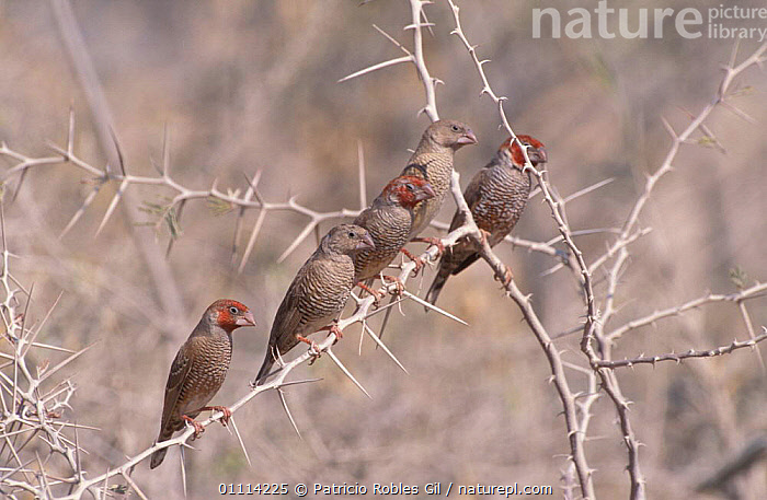 Paradise sparrows / Red headed finches {Amadina erythrocephala} Namibia  ,  AFRICA,GROUPS,FIVE,SOUTHERN AFRICA,BIRDS  ,  Patricio Robles Gil