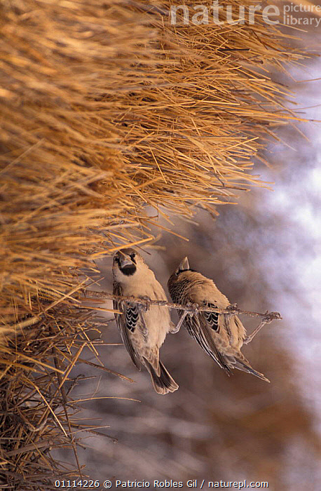 Social weaver pair at nest {Philetairus socius} Namibia  ,  SOUTHERN AFRICA,MALE FEMALE PAIR,TWO,NESTS,AFRICA,BIRDS  ,  Patricio Robles Gil