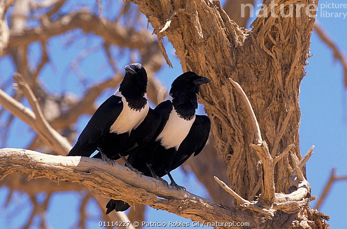 Pied crow pair {Corvus albus} Namibia  ,  SOUTHERN AFRICA,TWO,AFRICA,CROWS,BIRDS,MALE FEMALE PAIR,Corvids  ,  Patricio Robles Gil