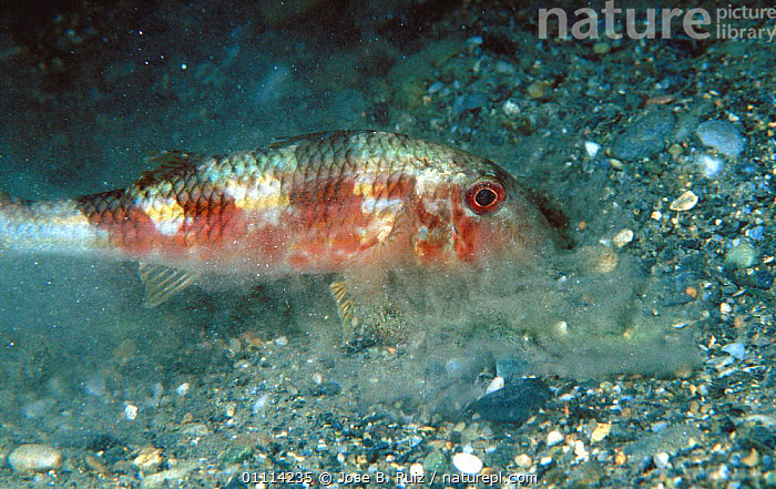 Red mullet searches for prey buried in sand {Mullus surmuletus} Mediterranean  ,  BEHAVIOUR,DIGGING,FEEDING,FISH,HORIZONTAL,INTERESTING,MARINE,MEDITERRANEAN,SAND,SEABED,TEMPERATE,UNDERWATER  ,  Jose B. Ruiz