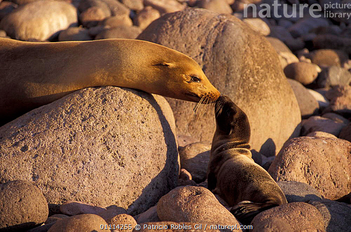 Californian sealion + pup {Zalopus californianus} San Pedro Martir Is, Mexico  ,  BEHAVIOUR,COASTS,PINNIPEDS,CENTRAL AMERICA,SEALIONS,MAMMALS,PARENTAL,MARINE,FAMILIES,BABIES,ZALOPUS  ,  Patricio Robles Gil