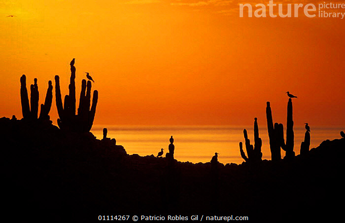 San Pedro Martir Is, Gulf of California, Mexico, silhouette of cacti + Boobies at sunset.  ,  CACTUS,SULA,BOOBY,SEABIRDS,SILHOUETTES,PLANTS,COASTS,LANDSCAPES,SUNSET,BIRDS,CENTRAL-AMERICA  ,  Patricio Robles Gil