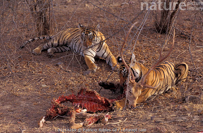 One Tiger feeds on kill while other watches {Panthera tigris} Ranthambore NP, India  ,  PORTRAITS,TWO,CARNIVORES,ASIA,MAMMALS,BEHAVIOUR,INDIAN SUBCONTINENT,FEEDING,Tigers,Big Cats  ,  Patricio Robles Gil
