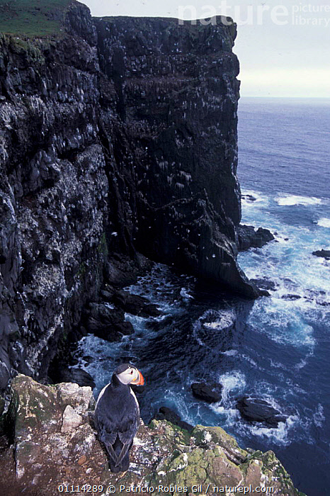 Puffin looks down from cliff top {Fratercula arctica} Iceland  ,  PUFFINS,SEABIRDS,SEA,EUROPE,HABITAT,DRAMATIC,COASTS,LANDSCAPES,AUK,BIRDS,CLIFFS,Geology,Auks, Seabirds  ,  Patricio Robles Gil