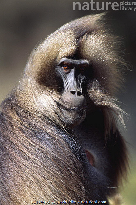 Gelada baboon mature male portrait with wind blown hair (Theropithecus gelada) Simien Mountains NP, Ethiopia  ,  AFRICA,BABOONS,BLOWN,ENDEMIC,HAIR,HAIRY,HIGHLANDS,MALES,MAMMALS,MONKEYS,NORTH AFRICA,NP,PORTRAITS,PRIMATES,RESERVE,SITTING,VERTEBRATES,VERTICAL,WIND,Weather,National Park,Catalogue1  ,  David Pike