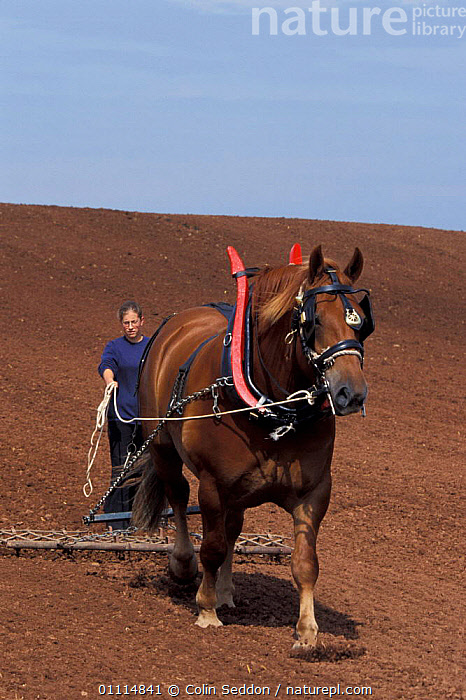 Suffolk punch carthorse pulling chain harrow {Equus caballus} Somerset UK  ,  MAMMAL,PERISSODACTYLA,TRACTION,PEOPLE,EUROPE,AGRICULTURE,HORSES,MAMMALS,WORKING,FARMLAND,TRADITIONAL,ENGLAND,Equines  ,  Colin Seddon