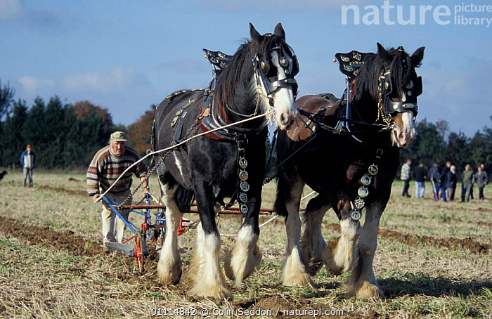 Shire horse pair ploughing {Equus caballus} Somerset UK  ,  CARTHORSE,MAMMAL,PERISSODACTYLA,TRACTION,FARMLAND,ENGLAND,HORSES,PLOUGH,SHIRES,AGRICULTURE,WORKING,PEOPLE,PULLING,TRADITIONAL,MAMMALS,TWO,EUROPE,Equines  ,  Colin Seddon