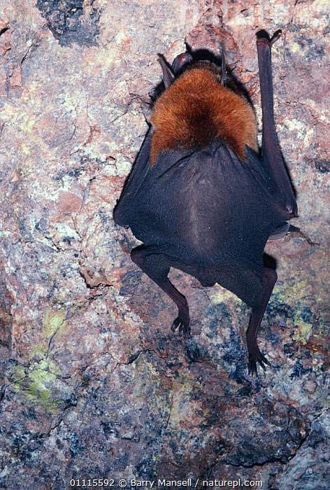 Naked-backed / Moustached bat {Pteronotus davyi} Sonora, Mexico  ,  BATS,CENTRAL AMERICA,MEXICO,VERTICAL,CHIROPTERA,MAMMALS,VERTEBRATES  ,  Barry Mansell