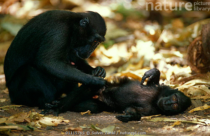 Celebes / Black / Sulawesi crested macaque {Macaca nigra} mother grooming young, Sulawesi, Indonesia  ,  ASIA,BABIES,BEHAVIOUR,ENDANGERED,FAMILIES,INDONESIA,MACAQUES,MAMMALS,MONKEYS,PARENTAL BEHAIVOUR,PRIMATES  ,  Solvin Zankl