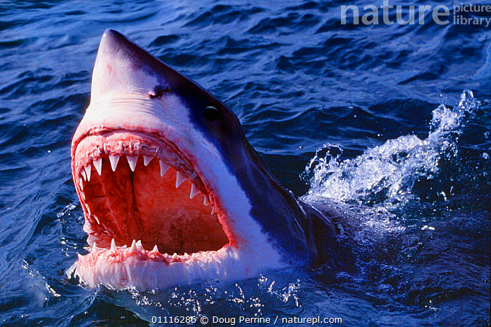 Great white shark jaws open at surface {Carcharodon carcharias} South Africa  (Non-ex)., AFRICA,AGGRESSION,CHONDRICHTHYES,DANGEROUS,FIERCE,FISH,HEADS,HORIZONTAL,JAWS,MARINE,MOUTHS,POWERFUL,PREDATORS,SHARKS,SOUTHERN AFRICA,SURFACE,TEETH,CONCEPTS, Fish,Catalogue1, Doug Perrine
