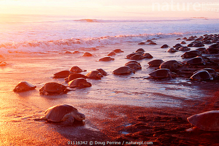 Female Olive Ridley turtles coming ashore to lay eggs {Lepidochelys olivacea} Costa Rica, Pacific Ocean  (Non-ex).  ,  BEACHES,BEHAVIOUR,CENTRAL AMERICA,DUSK,ENDANGERED,EVENING,FEMALES,GROUPS,HORIZONTAL,MARINE,MASS,OCEAN,PACIFIC,REPRODUCTION,REPTILES,SUNSET,TURTLES,CHELONIA, TURTLES  ,  Doug Perrine