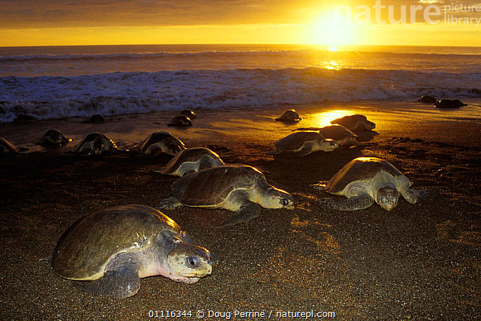Female Olive Ridley turtles coming ashore to lay eggs at sunset {Lepidochelys olivacea} Costa Rica, Pacific Ocean  (Non-ex).  ,  BEACHES,BEHAVIOUR,CENTRAL AMERICA,DUSK,ENDANGERED,EVENING,FEMALES,GROUPS,HORIZONTAL,MARINE,MASS,PACIFIC,REPRODUCTION,REPTILES,SAND,SUNSET,TURTLES,CHELONIA, TURTLES, Turtles, Turtles, Turtles,Catalogue1  ,  Doug Perrine