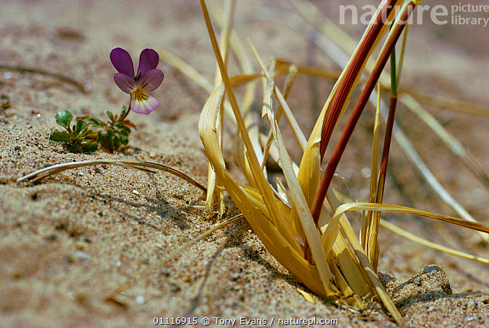 Wild pansy in flower on sand dune {Viola tricolor}  ,  HABITAT,EUROPE,PANSIES,PLANTS,DRY,FLOWERS,SAND DUNES,Deserts  ,  Tony Evans