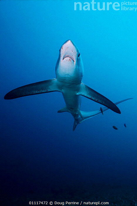 Pelagic thresher shark {Alopias pelagicus} Monda Shoal,  Philippines, Pacific Ocean 