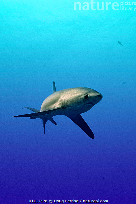 Subadult Pelagic thresher shark {Alopias pelagicus} Philippines, Pacific Ocean 