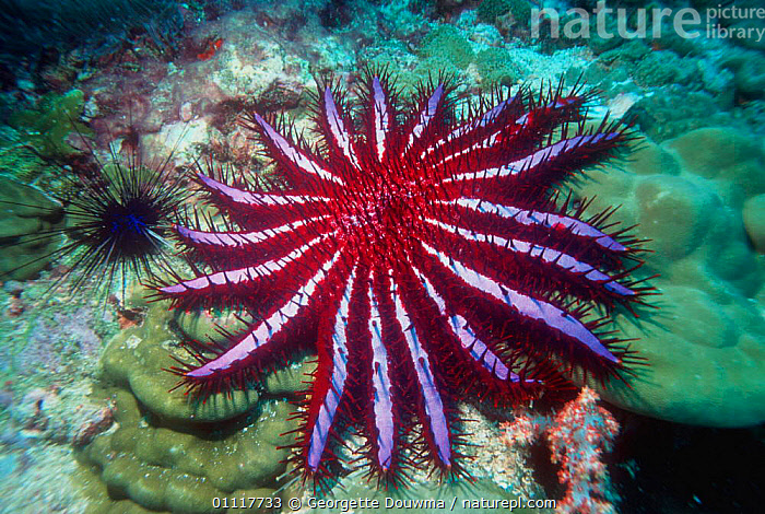 Crown of thorns starfish {Acanthaster planci} Andaman Sea, Thailand  ,  SEASTARS,PORTRAITS,INVERTEBRATES,INDO PACIFIC,CORAL REEFS,TROPICAL,ECHINODERMS,UNDERWATER,PESTS,MARINE,STARFISH, Starfish  ,  Georgette Douwma