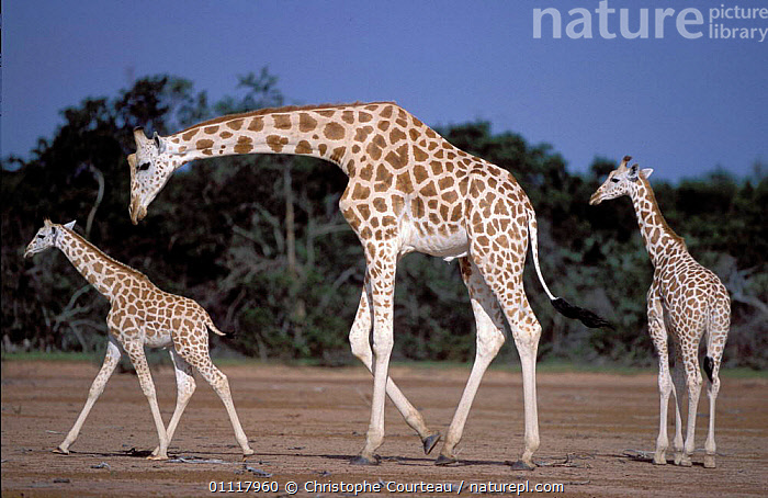 West African giraffes {Giraffa camelopardalis peralta}. Dallol Bosso Nord, Sahel, Niger., ANIMALS,DESERT,MALES,THREE,ENDEMIC,CERVOIDEA,UNGULATES,ADULT,YOUNG,EVEN TOED,MALE,WHITE,ARTIODACTYLA,SUB SPECIES,CRITICALLY ENDANGERED,ADULTS,CALVES,MAMMALS,WEST AFRICAN,WEST AFRICA,BABY,THREATENED,BABIES,CALF,AFRICA,NORTH-AFRICA, Christophe Courteau