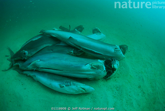 Finned sharks, thrown overboard alive to drown, Central America, Pacific Ocean., FISH,TROPICAL,OCEAN,GROUPS,SEABED,UNDERWATER,HORRIFIC,FINS,MARINE,DEATH,Sharks, Fish, Jeff Rotman