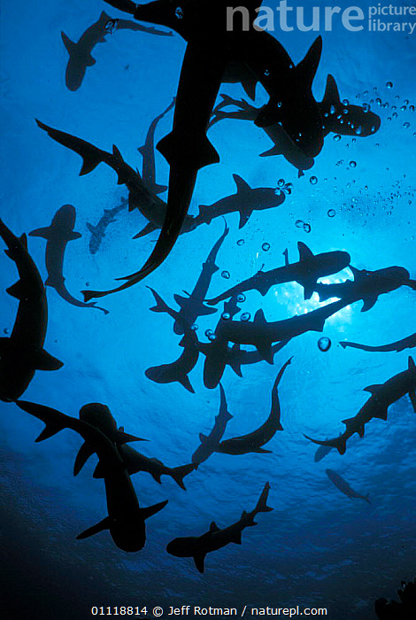 Whitetip reef sharks {Triaenodon obesus} follow scent trail in water, Cocos Is Costa Rica, OCEAN,HUNTING,SCHOOL,SENSES,MARINE,SMELLING,PREDATION,SHOAL,PACIFIC,COLUMN,FISH,COSTA RICA,UNDERWATER,ISLAND,SILHOUETTES,TROPICAL,GROUPS,Behaviour,Sharks, Fish, Jeff Rotman