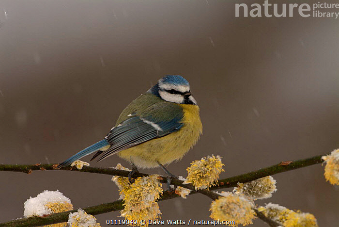 Blue tit {Parus caeruleus} on willow catkins {Salix sp} in snow. UK  ,  ENGLAND,BLOSSOM,EUROPE,SALIX,TITS,SNOW,BIRDS,SNOWING,SPRING  ,  Dave Watts