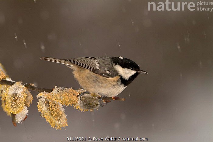 Coal tit {Periparus ater} on Willow catkins {Salix sp} in snow, UK  ,  BIRDS, ENGLAND, EUROPE, FLOWERS, SPRING, TITS, VERTEBRATES,United Kingdom  ,  Dave Watts