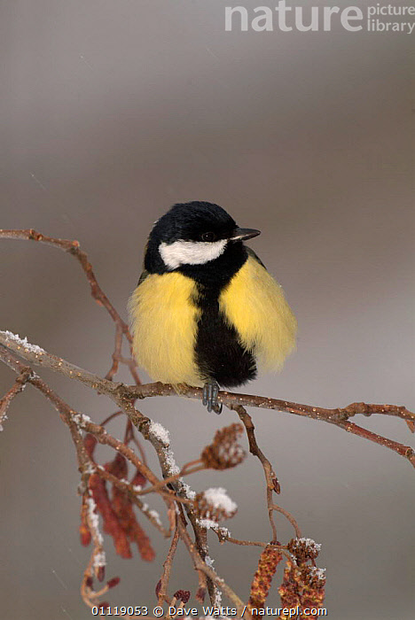 Great tit {Parus major} on catkins, Pyrenees, France  ,  SNOW,EUROPE,FROST,BIRDS,TITS,SPRING,Weather  ,  Dave Watts