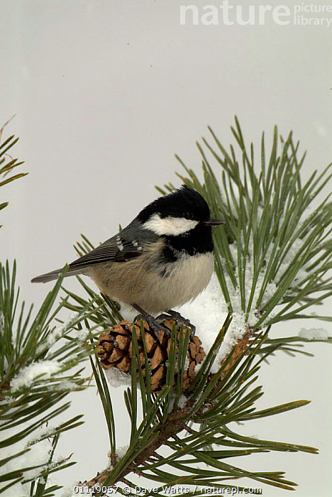 Coal tit {Periparus ater} on conifer in snow, UK  ,  BIRDS, CONES, CONIFEROUS, ENGLAND, EUROPE, SPRING, TITS, VERTEBRATES,United Kingdom  ,  Dave Watts