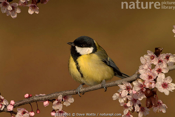 Great tit {Parus major} amongst blossom, Pyrenees, France  ,  TITS,FLOWERS,EUROPE,FRANCE,SPRING,BIRDS  ,  Dave Watts