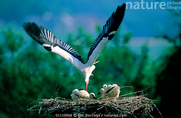 White stork coming to chicks in nest {Ciconia ciconia} Alsace, France  ,  BEHAVIOUR,FLYING,FAMILIES,NESTS,WADERS,BABIES,EUROPE,BIRDS,STORKS  ,  Eric Baccega
